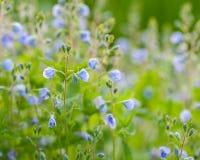 Veronica flowers, macro, selective focus Royalty Free Stock Image