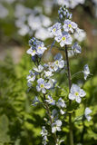 Veronica gentianoides flowers Royalty Free Stock Images