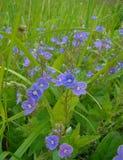 Veronica kwiaty Zdjęcia Stock