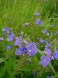 Veronica kwiaty Zdjęcie Stock