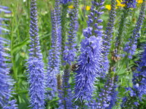 Veronica Longifolia. Blue flowers of Veronica Longifolia in a flowerbed in park Stock Images