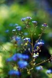 Veronica longifolia Stock Image