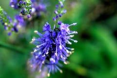 Veronica Longifolia Fleur de zone Images stock
