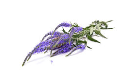 Veronica longifolia Royalty Free Stock Images