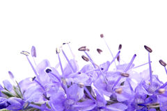 Veronica longifolia Royalty Free Stock Photography
