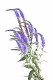 Veronica longifolia Stock Images