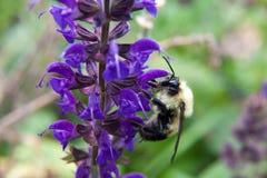 Veronica Longifolia Marietta attire pour gaffer des abeilles avec ses couleurs vives et parfum irrésistible photographie stock libre de droits