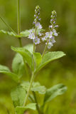 Veronica officinalis Royalty Free Stock Images