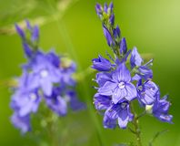 Veronica officinalis flower Royalty Free Stock Image
