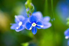 Veronica persica. (common names: Persian speedwell, large field speedwell, bird's-eye, or winter speedwell ) is a flowering plant native of Eurasia. First Stock Photography