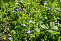 Veronica persica. Is blooming in field in the spring stock photography