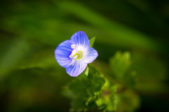 Veronica-persica, en liten blåttblomma Royaltyfri Fotografi