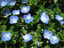 Veronica persica. (Persian speedwell, birds eye ) is one of the most widespread spring wildflowers. Although it is generally seen as a weed, many species in the Royalty Free Stock Photos