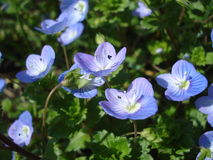 Close-up of persian speedwell. Veronica persica (persian speedwell, birds eye ) is one of the most widespread spring wildflowers. Although it is generally seen Royalty Free Stock Photo