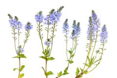 Veronica prostrata flowers isolated on white background