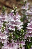 Veronica prostrata Mrs. Holt Stock Images