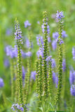 Veronica sibirica. Plant in the summer afternoon Royalty Free Stock Images