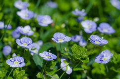 Veronica Small delicate flowers blooming outdoors. In spring Royalty Free Stock Image