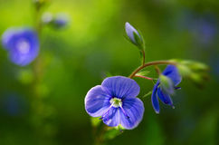 Veronica Small delicate flowers blooming outdoors. In spring stock photos