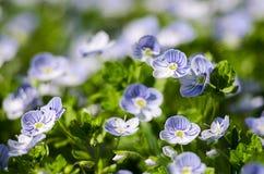 Veronica Small delikata blommor som utomhus blommar Arkivfoto