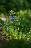 Veronica Small delikata blommor som utomhus blommar Arkivbilder