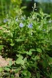 Veronica Small delikata blommor som utomhus blommar Fotografering för Bildbyråer