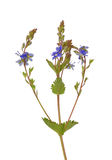veronica speedwell germander chamaedrys Стоковые Фото