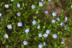 Veronica Speedwell Wildflower Stock Photos