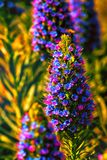 Veronica spicata Blue Charm Royalty Free Stock Images