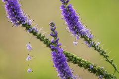 Veronica spicata. The close-up of anthotaxy of Veronica spicata Stock Image