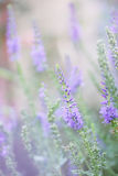 Veronica spicata. Of the family Veronicaceae. tinted Stock Photos