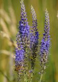 Veronica spicata Royalty Free Stock Photography