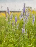 Bunch of Veronica spicata flowers on the meadow Royalty Free Stock Photography