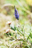 Veronica spicata (Pseudolysimachion spicatum) in the summer mead Stock Photos