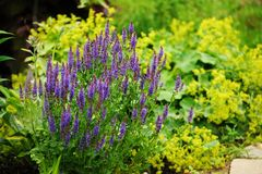 Veronica spikelet planted in mixed border with alchemilla mollis. In summer garden Royalty Free Stock Images