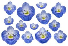 Veronica spring flowers in blue color seen from above for decorations.