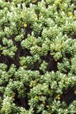 Veronica Topiaria. Close up image of Veronica Topiaria Leaves, a native New Zealand Hebe royalty free stock image