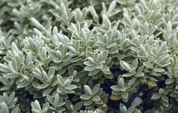 Veronica Topiaria Leaves images stock