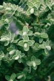 Veronica Topiaria Leaves arkivbild