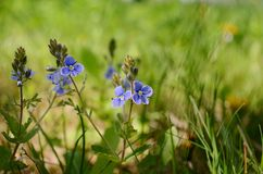 Veronica. A small beautiful whild flowers in our garden royalty free stock image