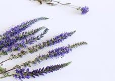 Veronica ziele z błękitów kwiatami odizolowywającymi na białym tle jako depresji wydajny ziołowy hypericum właśnie medycyny perfo obrazy stock