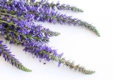 Veronica ziele z błękitów kwiatami odizolowywającymi na białym tle jako depresji wydajny ziołowy hypericum właśnie medycyny perfo obraz stock