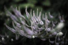 Veronicastrum - Veronique - Veronica. Veronicastrum - Véronique - Veronica, purple veronicastrum & bee in a belgian garden Royalty Free Stock Image