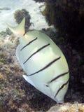 Veroordeel macro Surgeonfish stock afbeelding