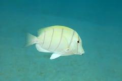 Veroordeel surgeonfish stock afbeelding