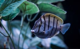 Veroordeel Tang, Acanthurus-triostegus, het Zwemmen stock fotografie