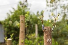 Verpflanzt zu einem Baum, schön Stockfoto