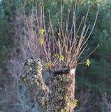 Verpflanzter Kastaniebaum Stockbild