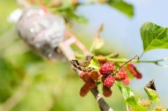 Verpflanzung auf Maulbeerbaum stockbild