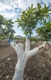 Verpflanzung des Mangobaums Stockbild